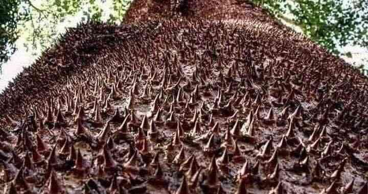 Pohon sirotol mustaqim
